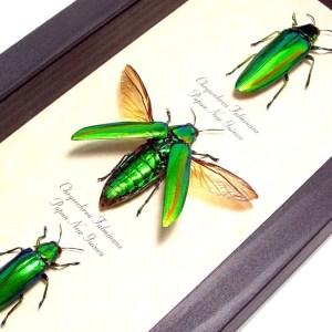 Beetles Scarabs True Bugs Framed