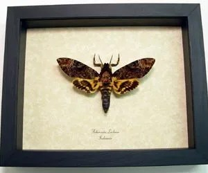 "Real Framed Death Head Moth Acherontia lachesis Male Species: Acherontia lachesis male Common Name: Death Head Moth Native Origin: Indonesia Frame Color: black Frame size: 6 1/2"" x 8"""