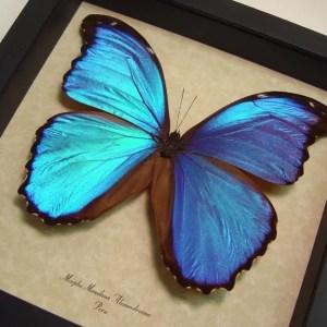 Morpho menelaus alexandrovna Blue Morpho Butterfly