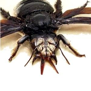 Xylocopa African Creepy Bee Death Head Bee