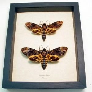 "Death Head Moth Acherontia lachesis Pair Species: Acherontia lachesismale/female Common Name: Death Head Moth pair Native Origin: Indonesia Frame Color: black Frame Size: 8"" x 9 1/2"""