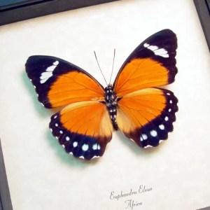 Euphaedra eleusFemale Orange Forester
