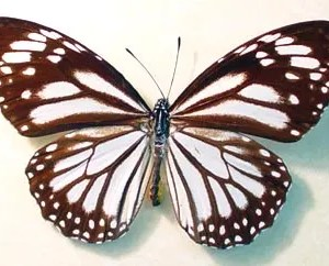 Danaus Melanippus White Tiger Butterfly