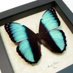 Morpho helenor Banded Blue Butterfly