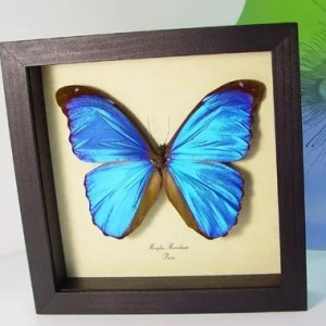 Blue Butterflies Insects