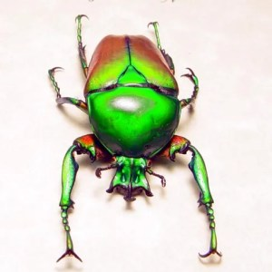 Neptunides stanleyi African Beetle