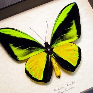 Ornithoptera goliath Giant Male Birdwing