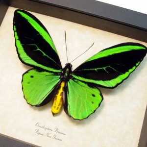 Ornithoptera Priamus Male Green Birdwing