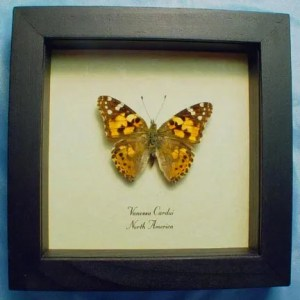 Vanessa cardui painted lady butterfly