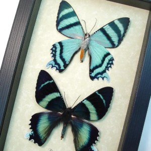 Alcidis agathyrus Set Zodiac Moths