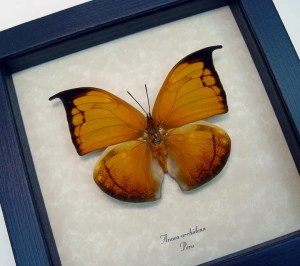 Anaea archidona Golden Leaf Mimic
