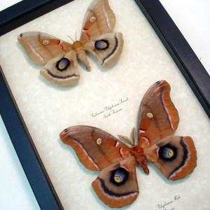 Antheraea polyphemus Pair Silkmoths Moths