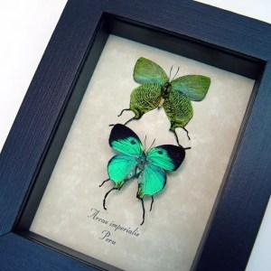 Arcas imperialis Set Green Swallowtail