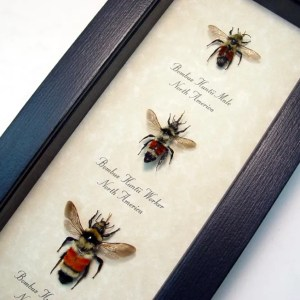 Bombus huntii Bumblebee Queen Worker Set