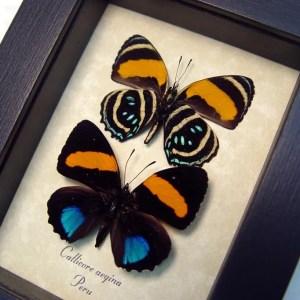 Callicore aegina pair Blue Orange