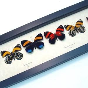 Callicore set Colorful Blue Orange Butterflies