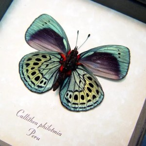 Darwin Butterfly Callithea-philotmia real framed by butterfly-designs