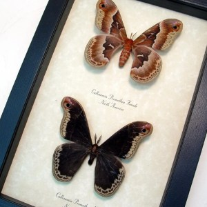 Callosamia promethea Pair Silk Moth
