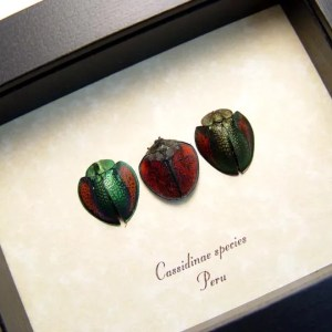 Cassidinae Collection Set Tortoiseshell Beetles
