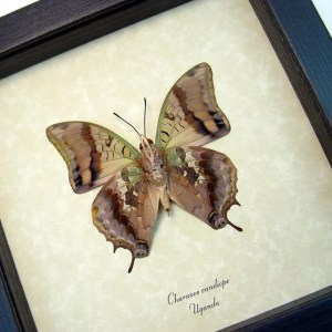 Charaxes candiope verso Dagger Tail