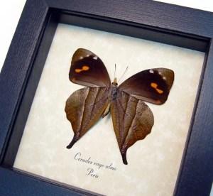 Corades enyo almo Verso Butterfly
