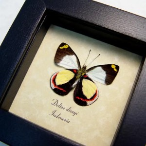 Delias dixeyi verso Red Yellow Butterfly