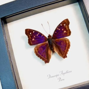 Doxocopa agathina Emperor Purple
