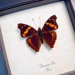 Doxocopa elis Peru Butterfly