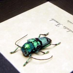 Glenea celestis Female Blue Longhorn Beetle