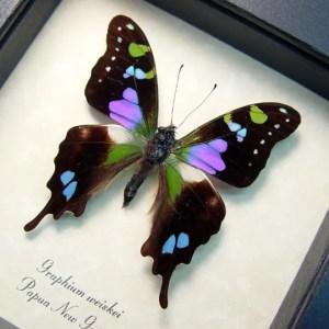 Indo-Asian Butterflies