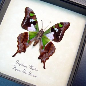 Graphium weiskei Verso Purple Spotted Swallowtail Butterfly