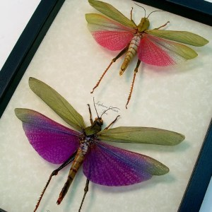 Titanacris albipes Lophacris cristata Grasshoppers