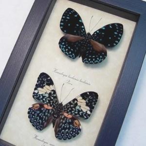 Hamadryas Set Starry Night Butterflies