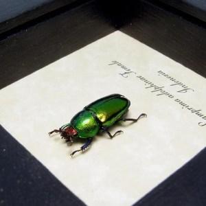 Lamprima Adolphinae Female Stag Beetle