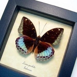 Lexias pardalis Common Archduke Lavender Butterfly