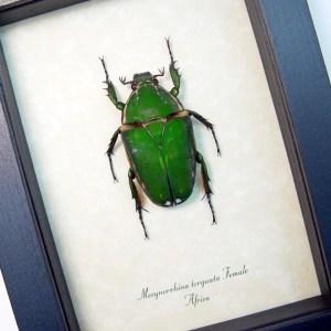 Mecynorrhina torquata Female African Beetle