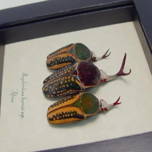 Megalorrhina harrisi Antler Beetle Collection