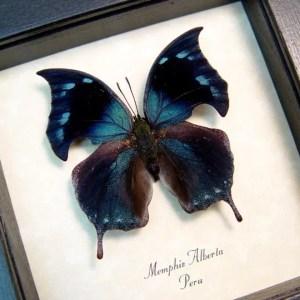 Memphis alberta Blue Hatchet Wing
