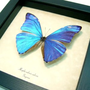 Morpho adonis Blue Morpho Butterfly