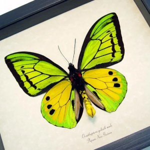 Ornithoptera Goliath Male Verso Birdwing real framed butterfly by butterfly-designs