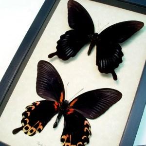 Papilio deiphobus Black Witch Butterflies