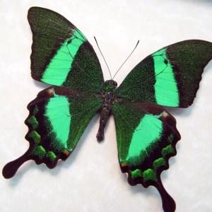 Papilio palinurus Emerald Swallowtail