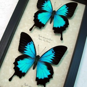 Papilio ulysses Set Blue Mountain Swallowtail