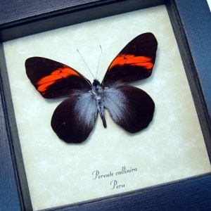 Pereute callinira Red Ghost Butterfly