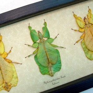 Walking Leaf Insects