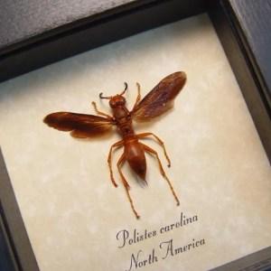 Polistes carolina Paper Wasp Red