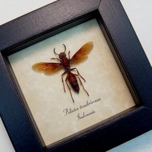 Polistes tenebricosus Paper Wasp Banded