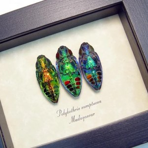 Polybothris sumptuosa Jewel Beetle Collection