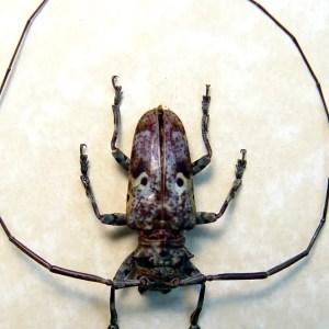 Prosopocera schoutedeni Ghoul Face Beetle