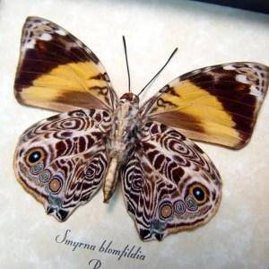 Smyrna blomfildia verso Blomfild's Beauty Butterfly